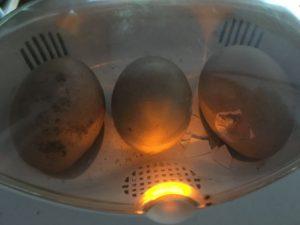 ニワトリの孵化 嘴打ち