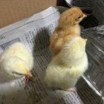 ニワトリの孵化