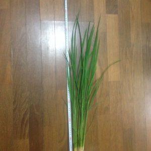 稲作 8週