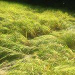 稲作 イノシシ