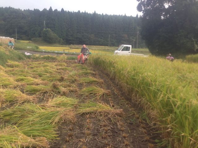稲作 稲刈り