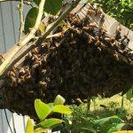 日本ミツバチ 分蜂